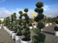 péče o tvarované stromy